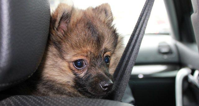 Perro pequeño con un cinturón de seguridad no apropiado para perros.
