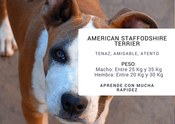 AMERICAN STAFFODSHIRE TERRIER