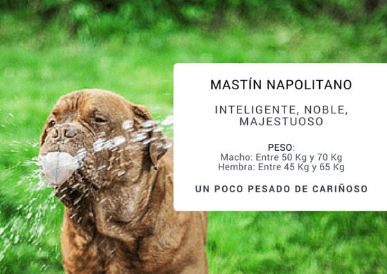 MASTIN NAPOLITANO bebiendo agua