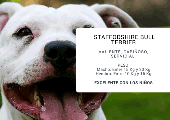 STAFFODSHIRE BULL TERRIER