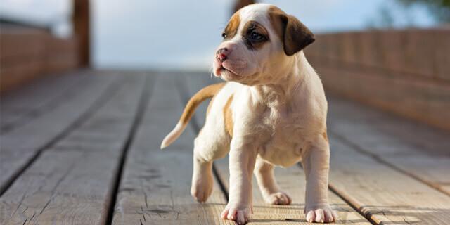vacunas en cachorros