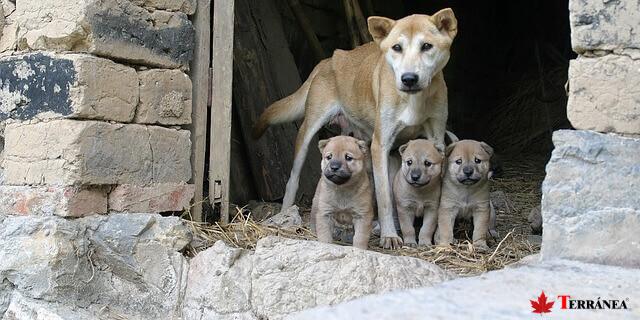 Entre dos y nueve cachorros pueden nacer tras el embarazo de una perra.