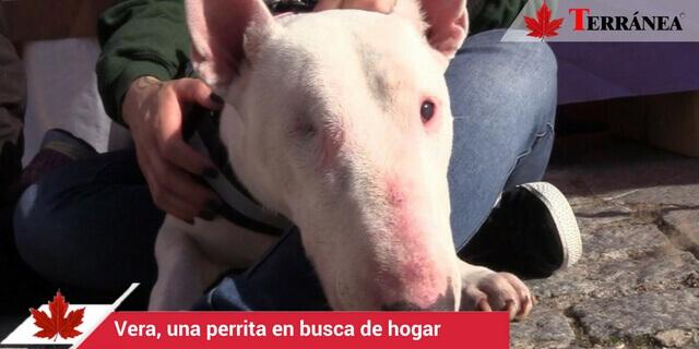vera-perro-pitbull-terranea