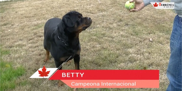 Betty, la hembra elegida para explicar la raza Rottweiler.