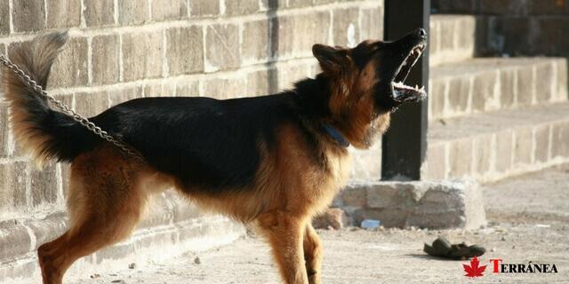 ladrido agresivo de un pastor alemán