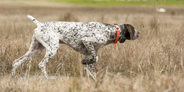 La prohibición de amputar el rabo a los perros sigue sin estar vigente en España.