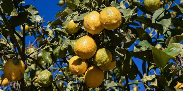 agricultores citricos reciben indemnizaciones agroseguros