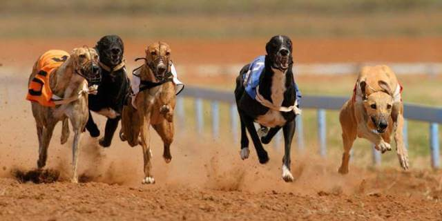 galgos corriendo en la disputa de una carrera en Londres