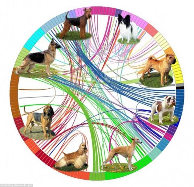 La relación genética entre las razas (Foto: Cell Reports).