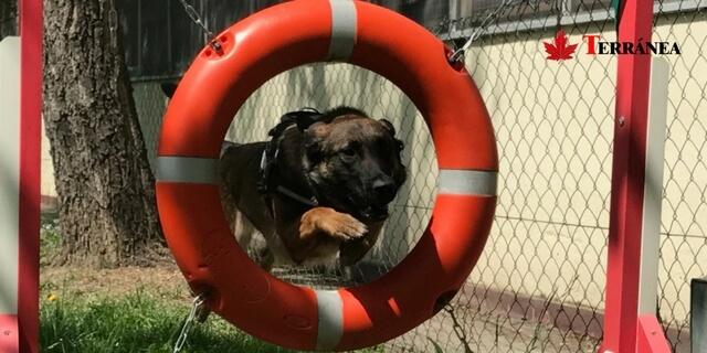perro policía saltando por un aro