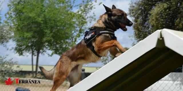 perro policia en circuito de adiestramiento