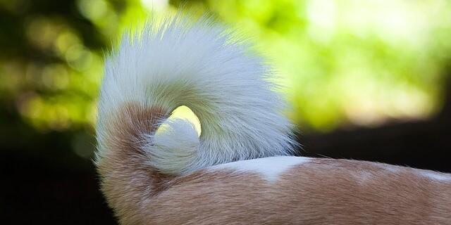 La prohibición de amputar rabos de perros se retrasa.