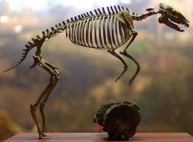Restos de caballo prehistórico Eohippus