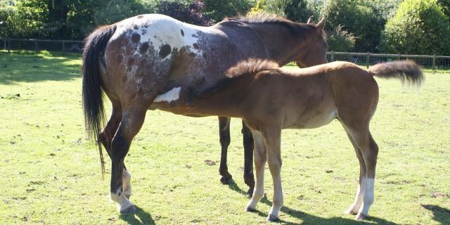 """El caballo Appaloosa, el """"espíritu del viento"""""""