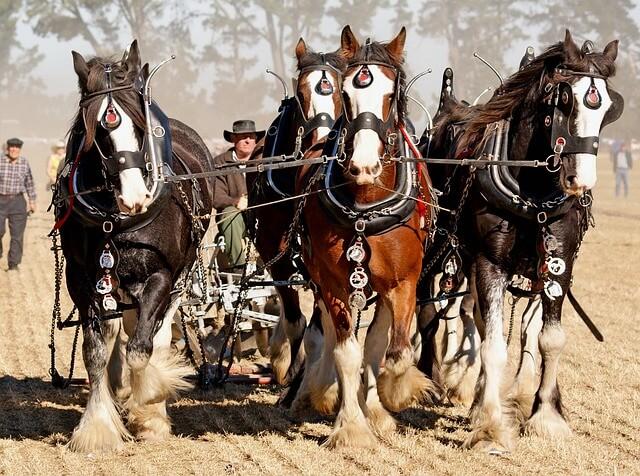 caballos utilizados para tareas del campo y la agricultura