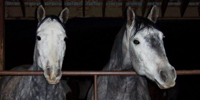 El caballo Lusitano, un Pura Sangre histórico.