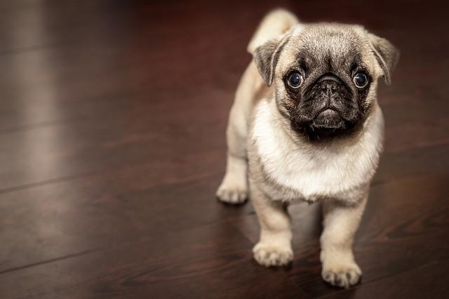El pug o carlino es un perro de reducido tamaño