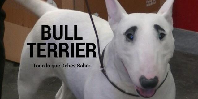Dragon Eyes, hembra de la raza Bull Terrier