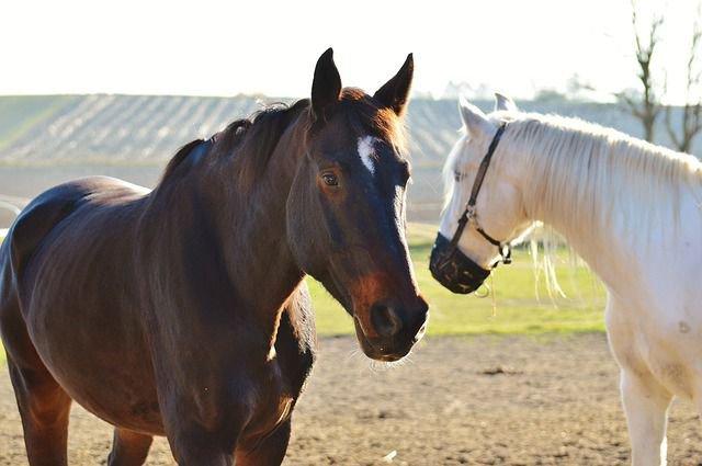 Dos equinos juntos