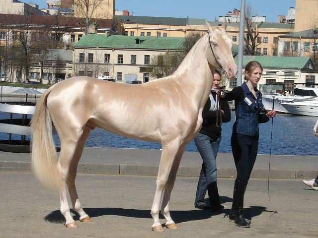 Un equino Akhal-Teke junto a una jinete