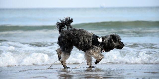 Perro bañándose en la caleta dels Gossets (Santa Pola)