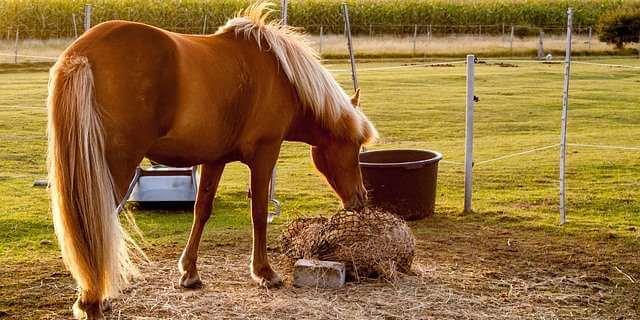 Cuidados básicos en la alimentación de un caballo.