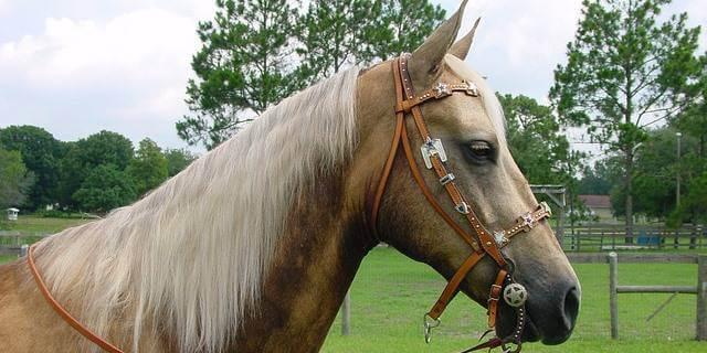 Rasgos característicos del caballo Palomino.
