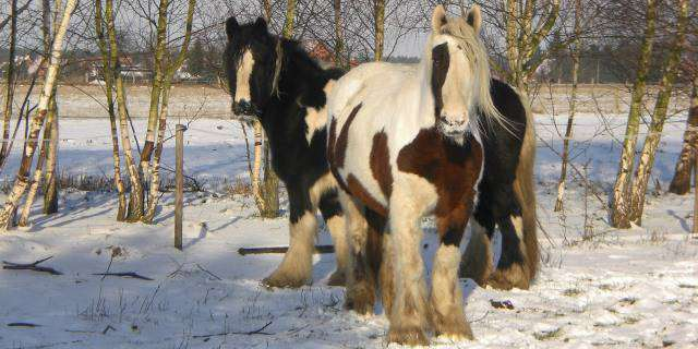 Gypsy Vanner, los caballos gitanos.