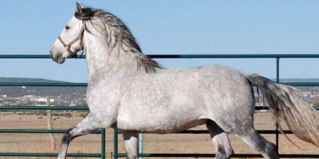 Un caballo cartujano galopando.