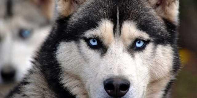 Huskie siberiano, la raza que dispara la demanda gracias a Juego de Tronos.
