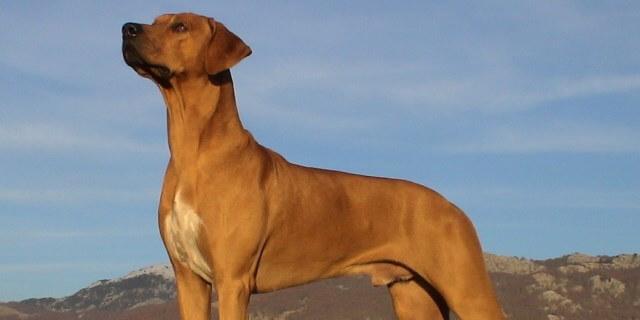 Crestado de Rodesia, un perro que no teme a los leones