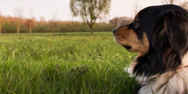 """Perro vigilando el campo que pertenece a su dueño. Representa una de las expresiones populares de perros: """"El perro del hortelano, ni como ni deja comer""""."""