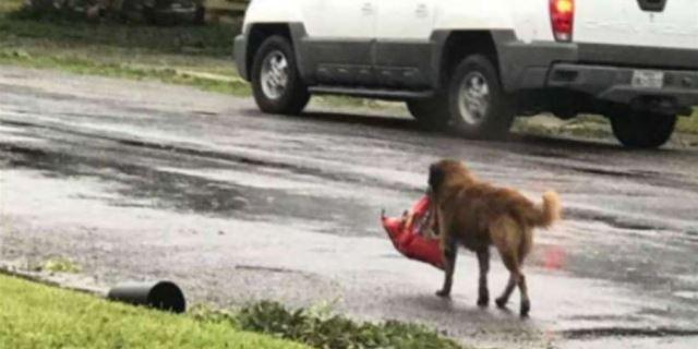 El héroe del huracán Harvey, el perro Otis.