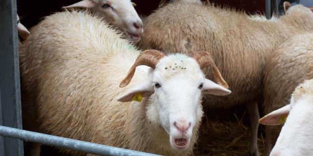 Transporte por carretera de animales en la UE: Ovejas en un camión