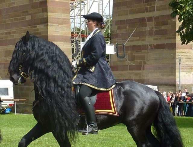 Un jinete monta un caballo frisón