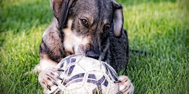 Perro jugando con un balón de fútbol.