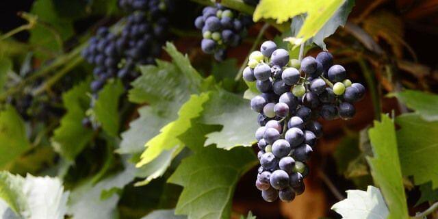 Uvas listas para recogerse de la parra.