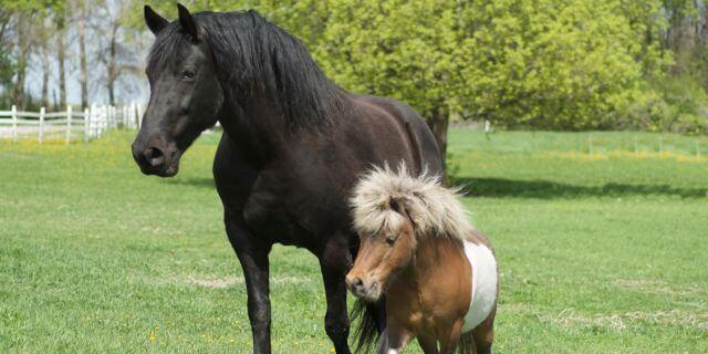 Falabella, caballos en miniatura.