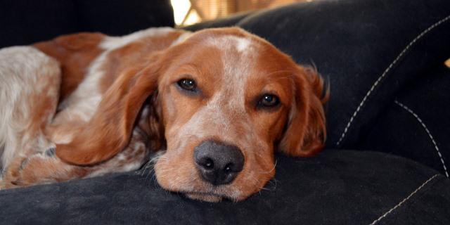Perro tumbado en un sofá