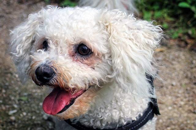 El Bichón Frisé es un perro muy enérgico.