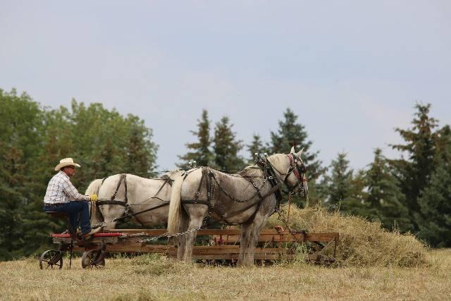 El caballo percheron, como los de la imagen, es ideal para el transporte de cargas.