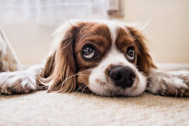 Perros Para Tener En Un Piso 20 Razas Perfectas Para Convivir