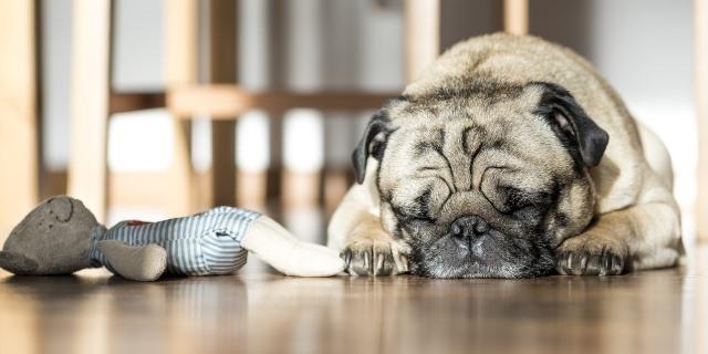 Pug duerme en el suelo.