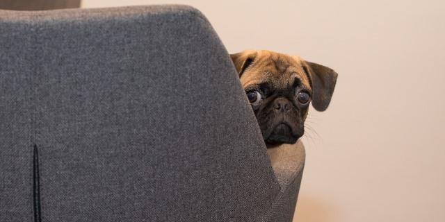 Un Pug es un perro ideal para vivir en un piso