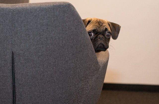 La raza del Pug es una de las más aconsejables para un piso