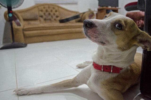 Perro mestizo descansa en el salón de una casa.