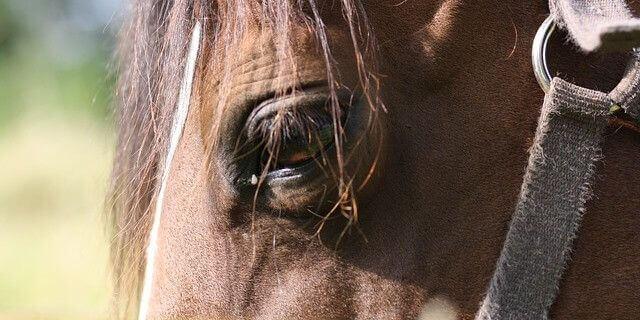 Fiebre del Nilo Occidental en caballos.