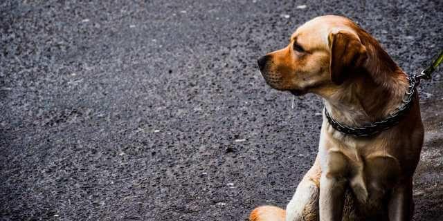 Perro guía sentado en la calle.