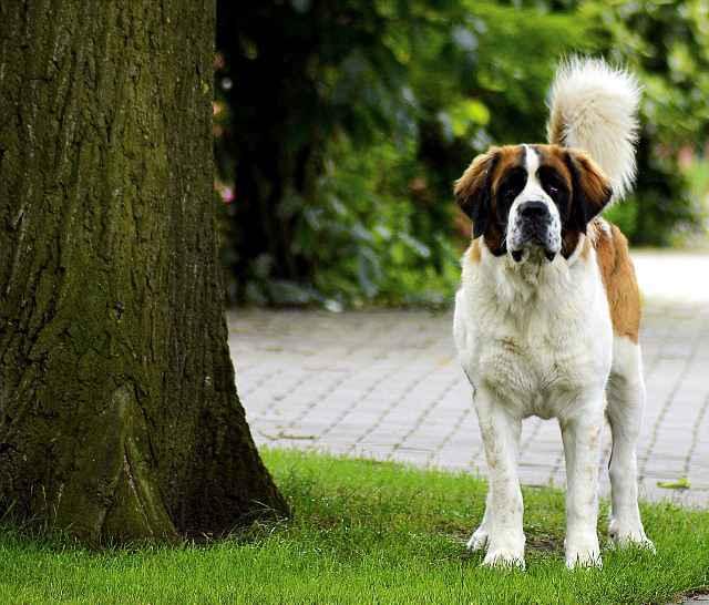 Perro de raza San Bernardo.