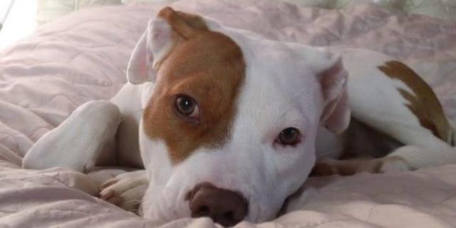 Ivor el perro sordo que ha aprendido la lengua de signos tendido en el suelo con mirada triste
